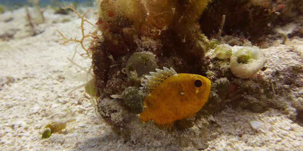 Short Bigeye fish
